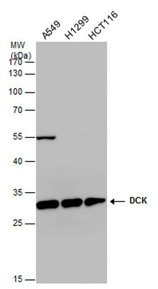 DCK Antibody in Western Blot (WB)
