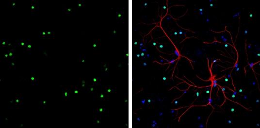HMGB1 Antibody in Immunofluorescence (IF)