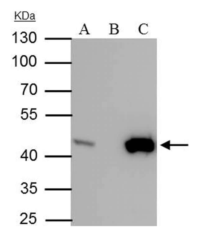 IDH1 Antibody in Immunoprecipitation (IP)