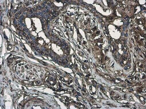 Phospho-MYH9 (Ser1943) Antibody in Immunohistochemistry (Paraffin) (IHC (P))