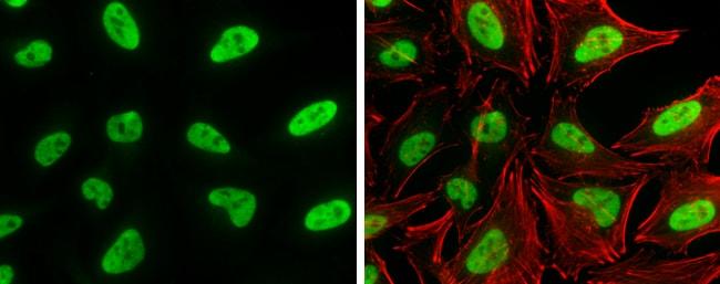 SP1 Antibody in Immunofluorescence (IF)