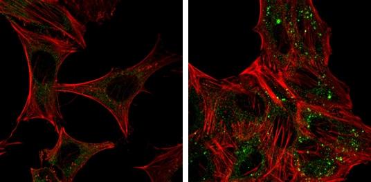 ATG12 Antibody in Immunofluorescence (IF)