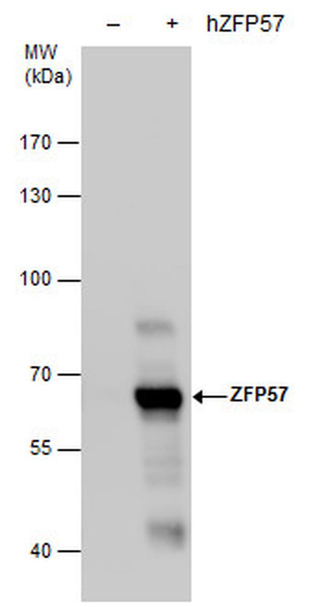 ZFP57 Antibody in Western Blot (WB)