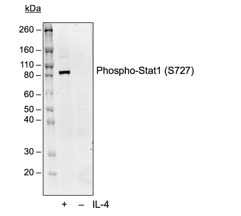 Phospho-STAT1 (Ser727) Antibody in Western Blot (WB)