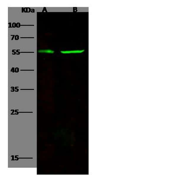 CD83 Antibody in Western Blot (WB)
