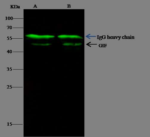 GIF Antibody in Immunoprecipitation (IP)