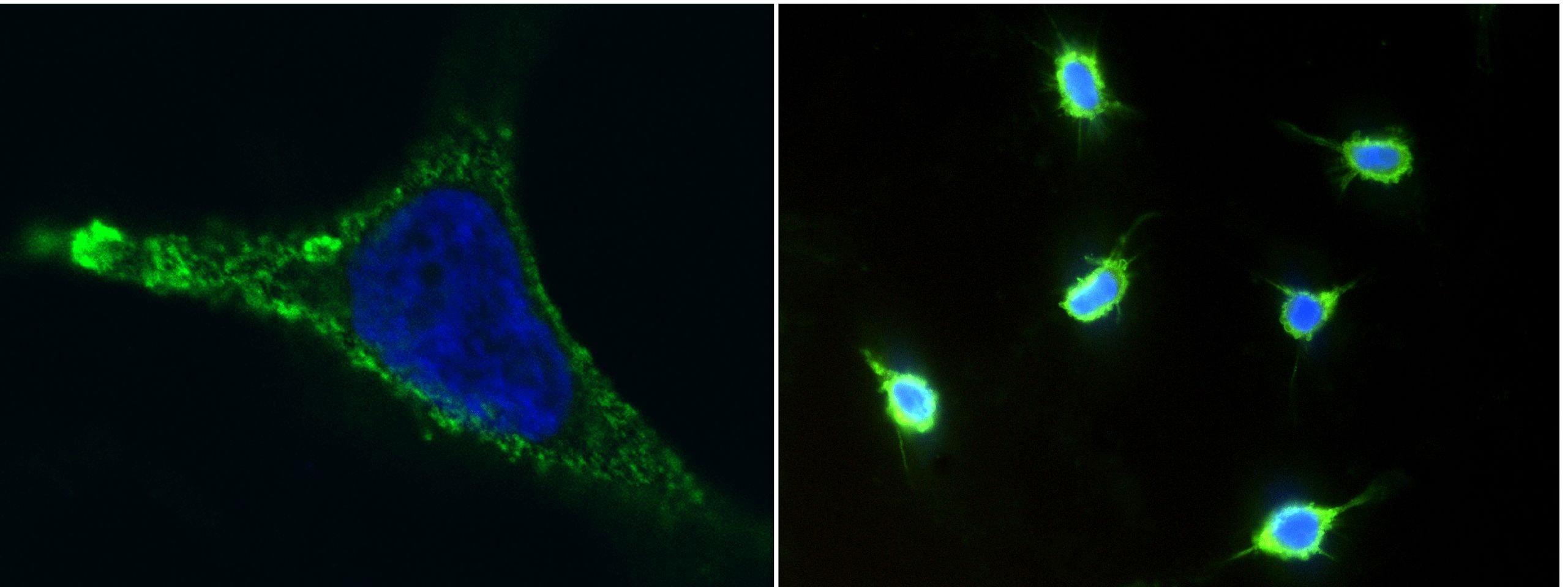 CD146 Antibody in Immunofluorescence (IF)