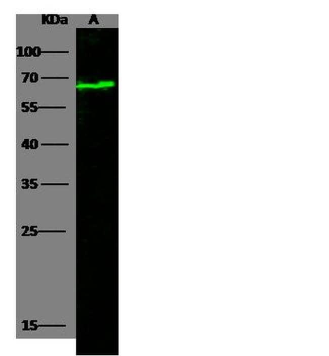 Nectin 2 Antibody in Western Blot (WB)