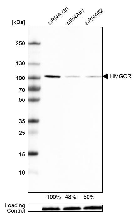 HMGCR Antibody in Knockdown
