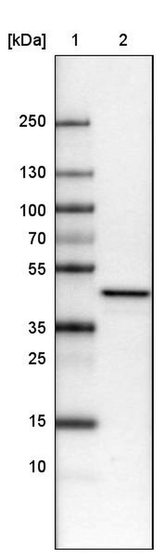 TUFM Antibody in Western Blot (WB)