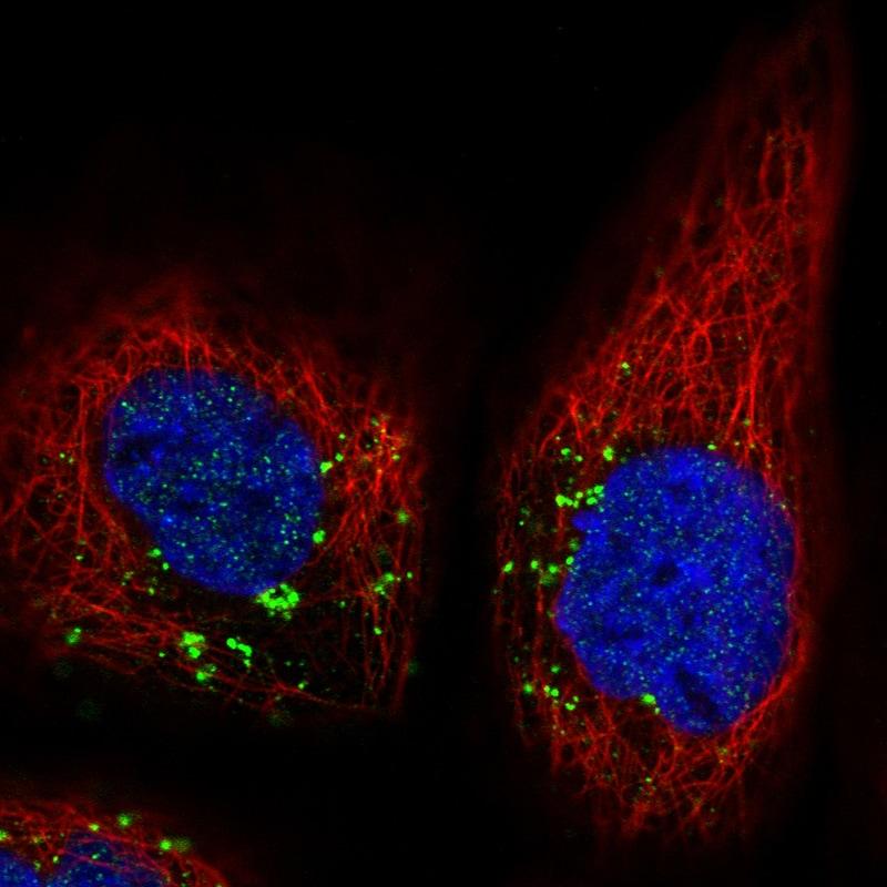 VPS26A Antibody in Immunofluorescence (IF)