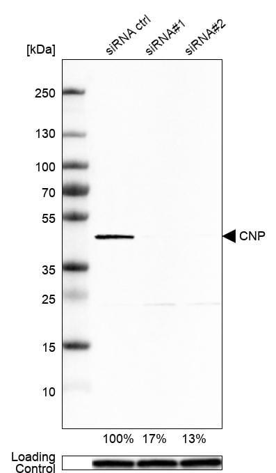 CNPase Antibody in Knockdown
