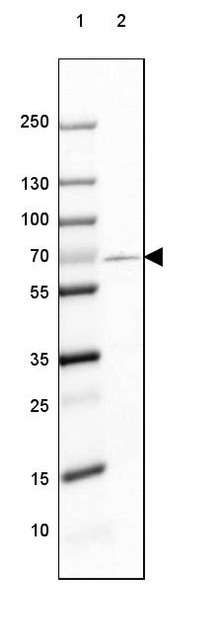 GAD67 Antibody in Western Blot (WB)