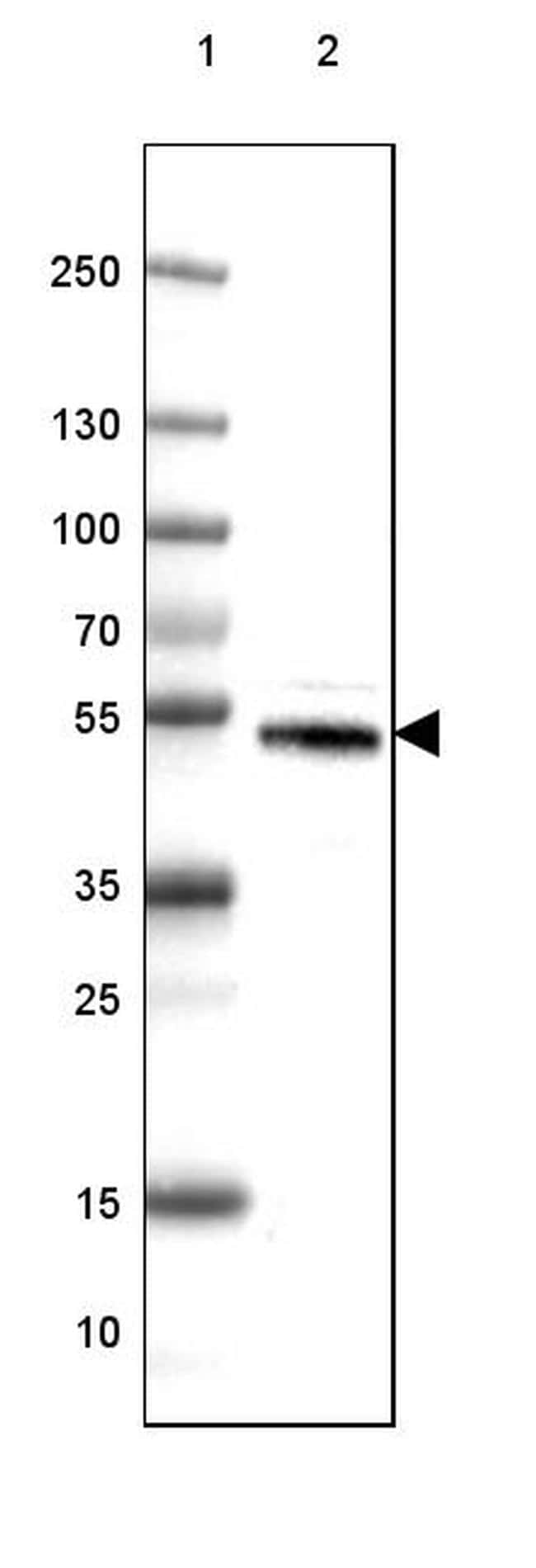 DOPA Decarboxylase Antibody in Western Blot (WB)