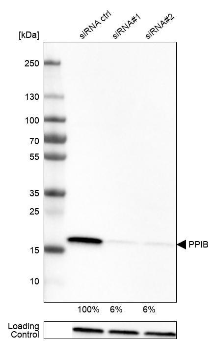 Cyclophilin B Antibody in Knockdown