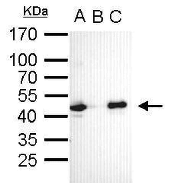 OCT4 Antibody in Immunoprecipitation (IP)