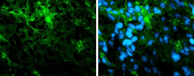 alpha Tubulin Antibody in Immunohistochemistry (Frozen) (IHC (F))