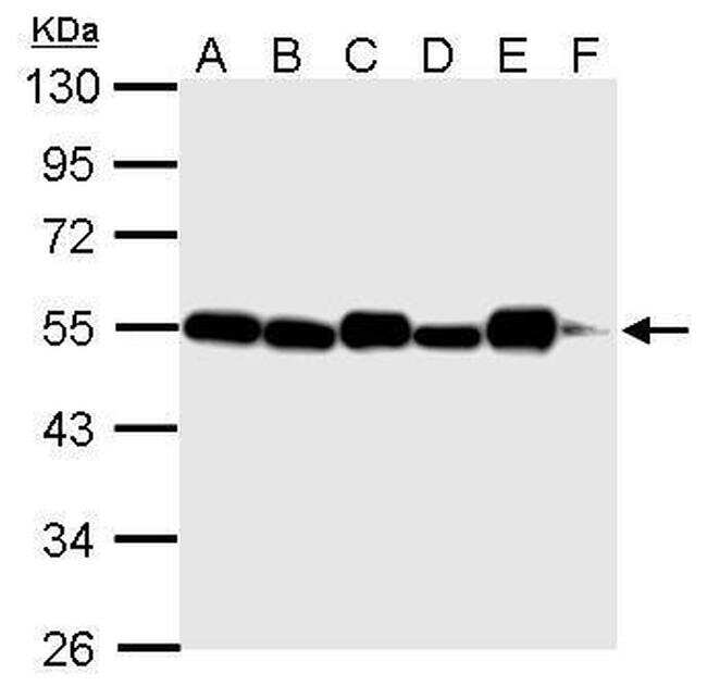 alpha Tubulin Antibody in Western Blot (WB)