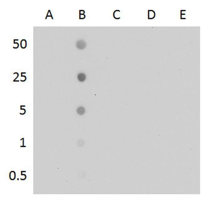 5-Methylcytosine Antibody in Dot blot (DB)
