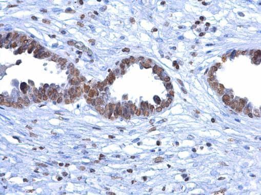5-Methylcytosine Antibody in Immunohistochemistry (Paraffin) (IHC (P))