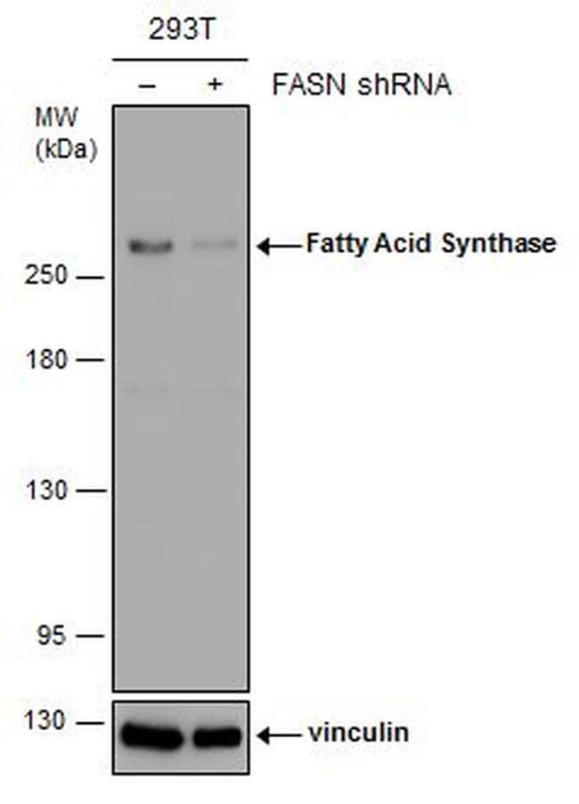 FASN Antibody in Western Blot (WB)