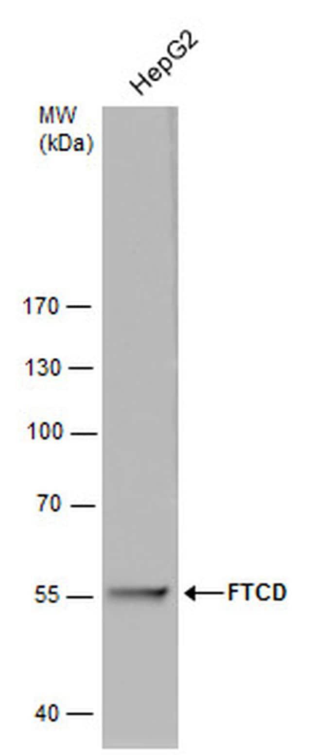 Golgi protein 58k Antibody in Western Blot (WB)