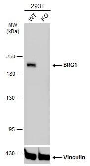 BRG1 Antibody in Knockout