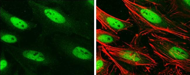 BRG1 Antibody in Immunofluorescence (IF)
