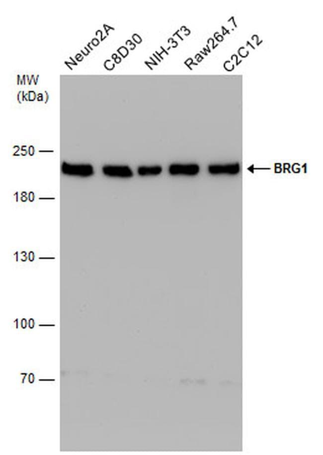 BRG1 Antibody in Western Blot (WB)