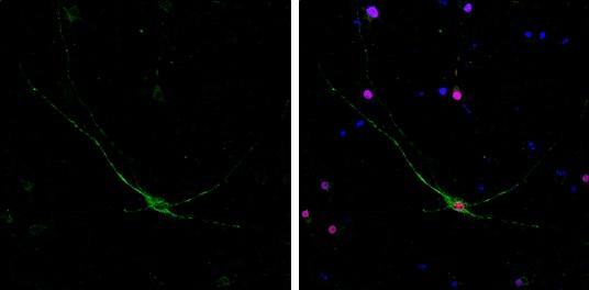 NF-H Antibody in Immunofluorescence (IF)