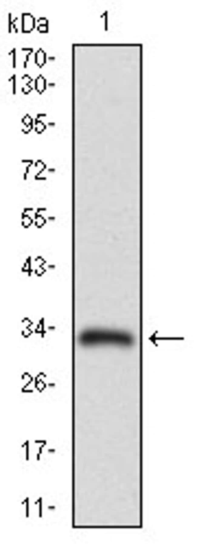 MRP4 Antibody in Western Blot (WB)