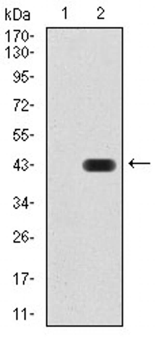 KDM1B Antibody in Western Blot (WB)