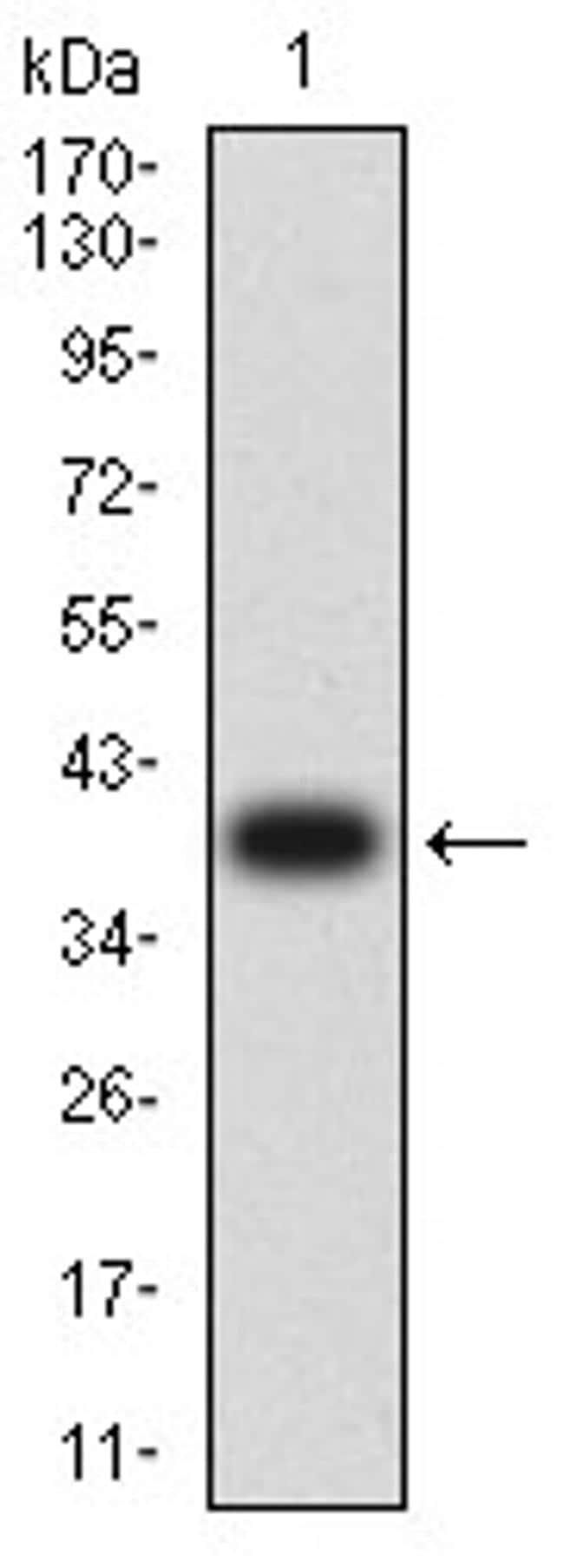 Aquaporin 2 Antibody in Western Blot (WB)
