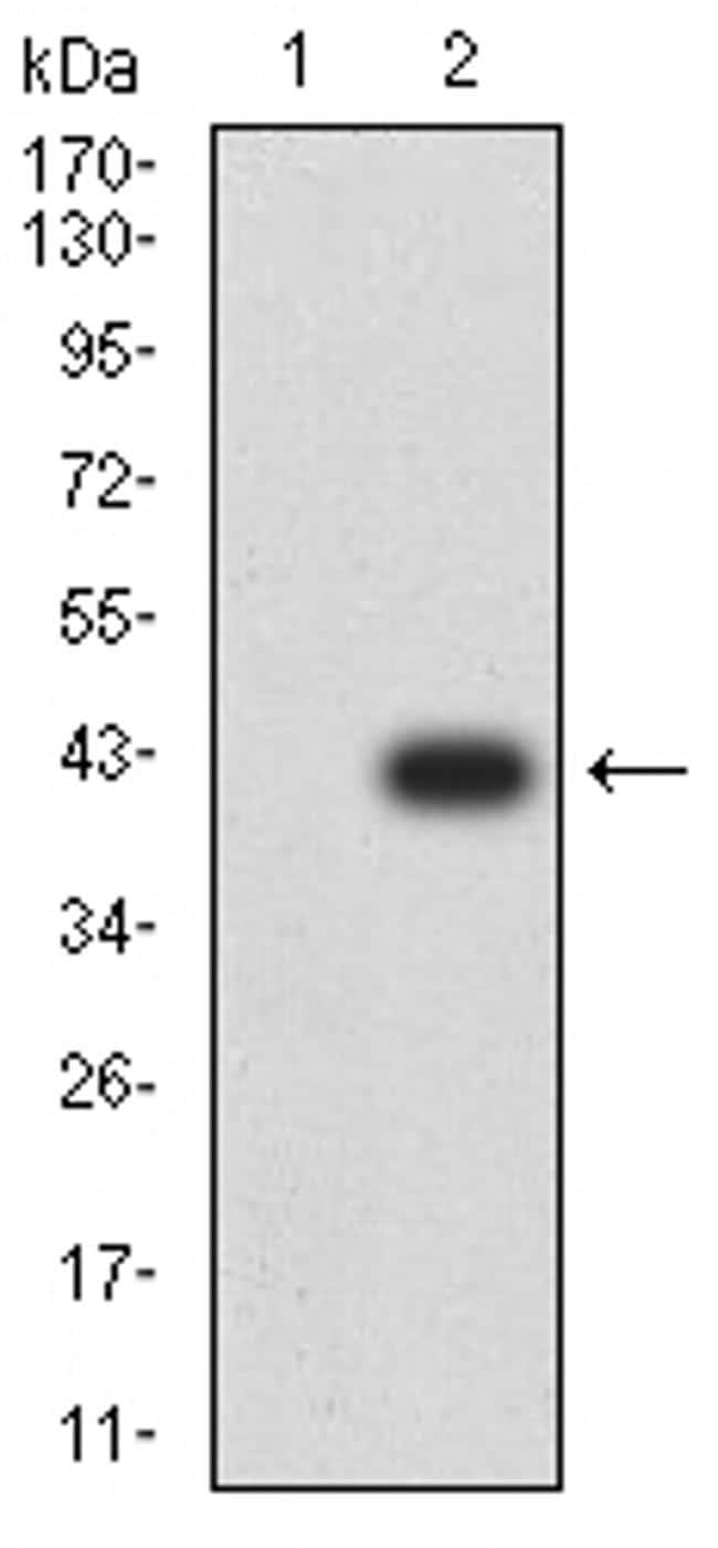 ATG2A Antibody in Western Blot (WB)