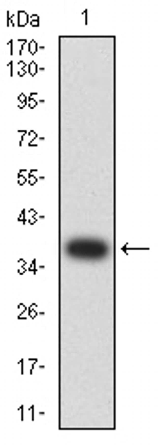 ATPIF1 Antibody in Western Blot (WB)