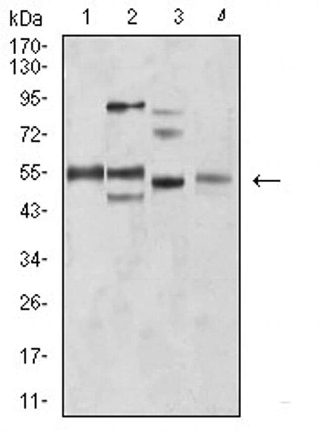 BIN1 Antibody in Western Blot (WB)