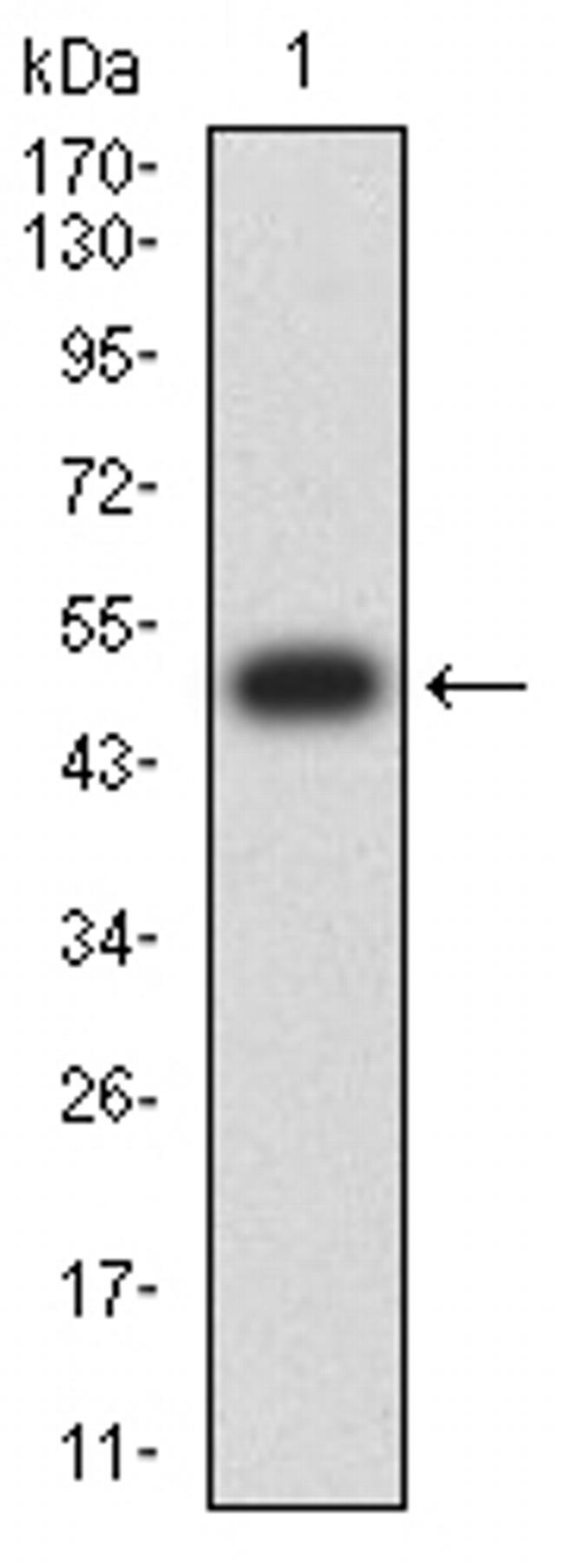 CHRNA10 Antibody in Western Blot (WB)