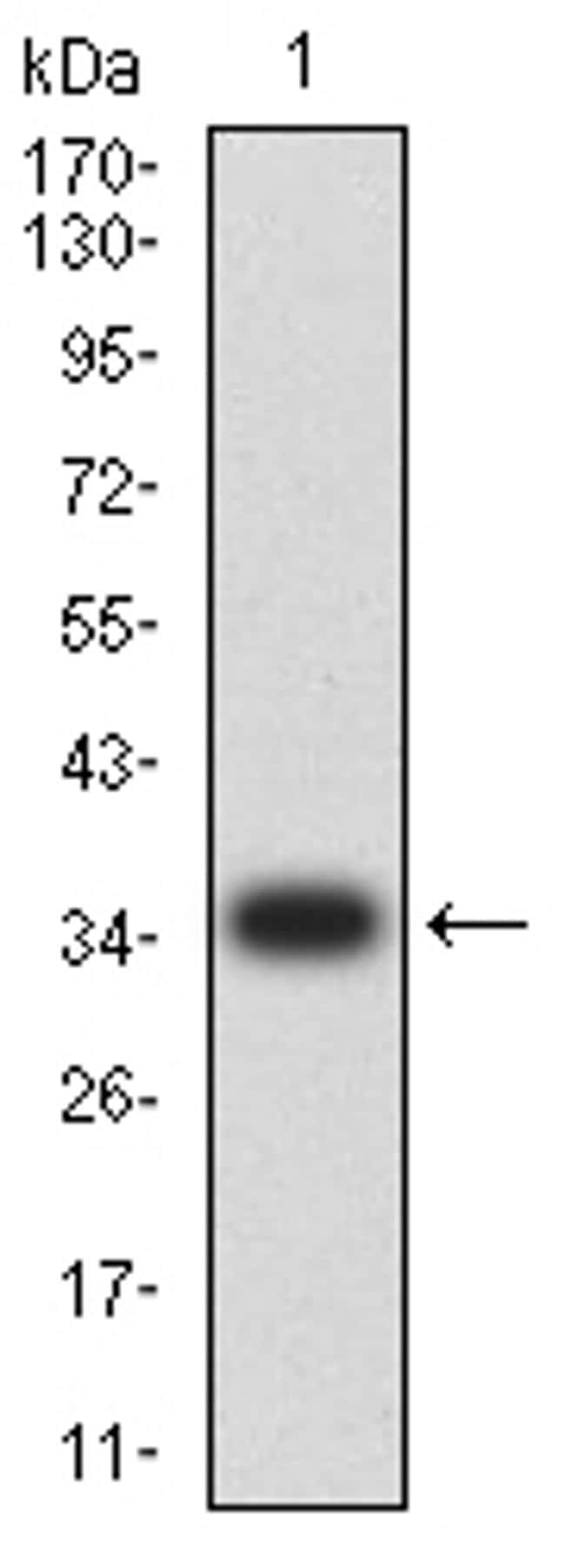 CIRBP Antibody in Western Blot (WB)