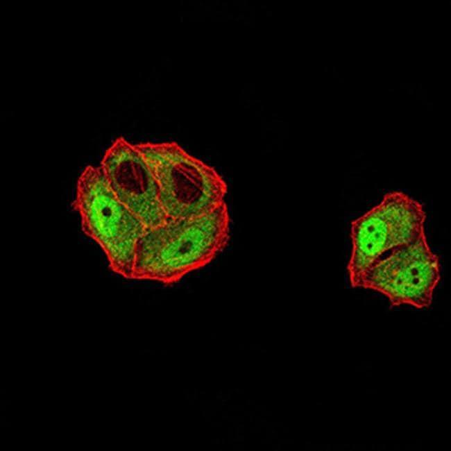 DDX1 Antibody in Immunofluorescence (IF)