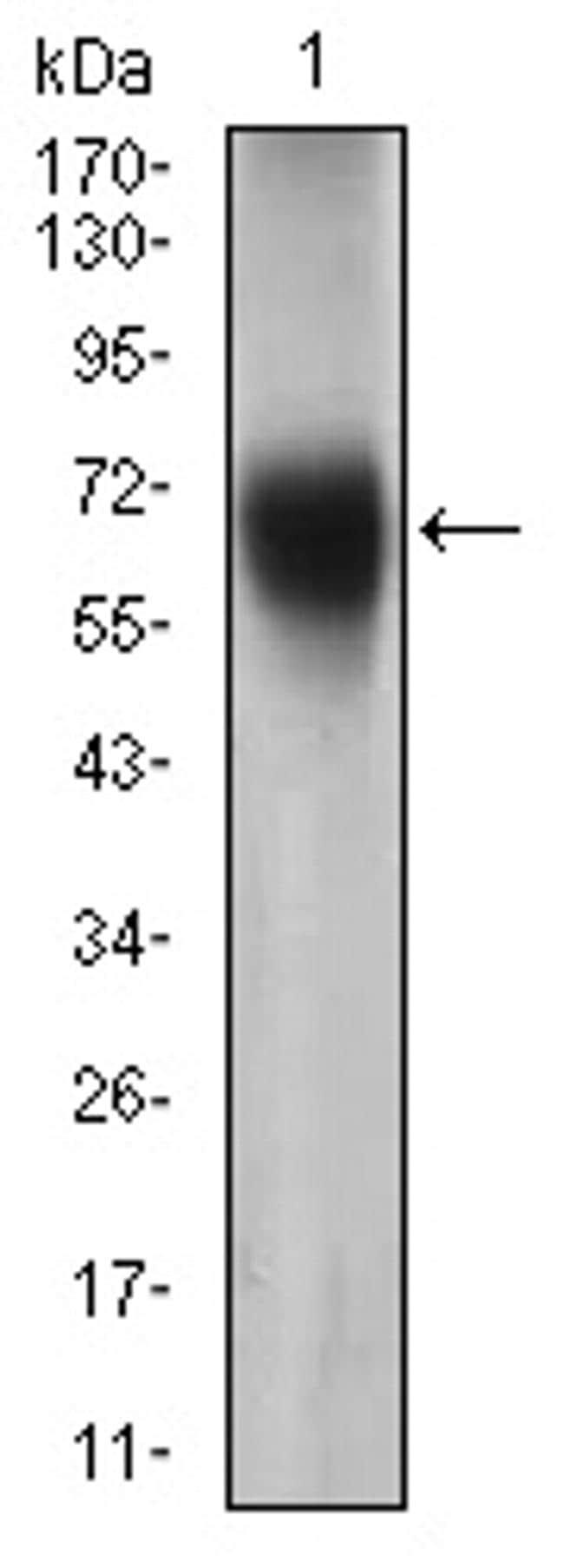FUT4 Antibody in Western Blot (WB)