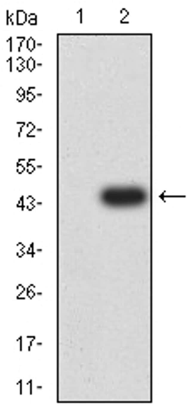 GluR7 Antibody in Western Blot (WB)