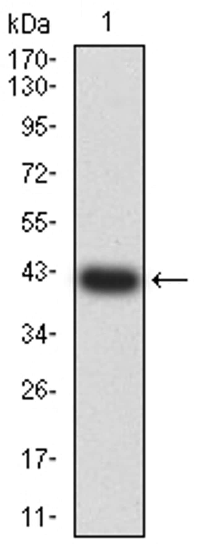 HTR3A Antibody in Western Blot (WB)