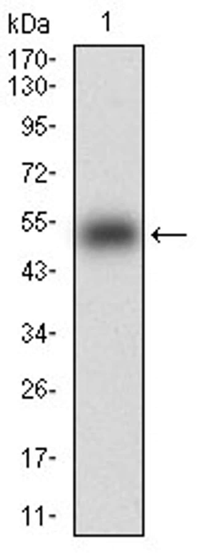 KHDRBS2 Antibody in Western Blot (WB)