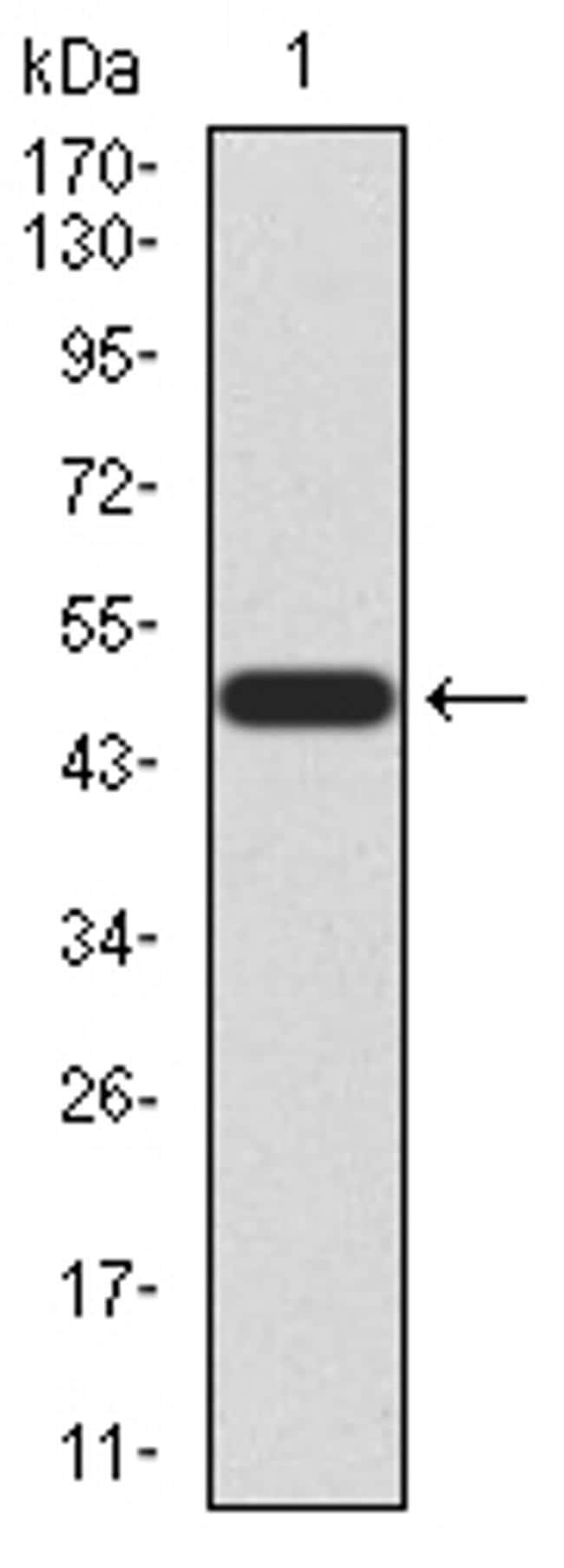 KLF6 Antibody in Western Blot (WB)