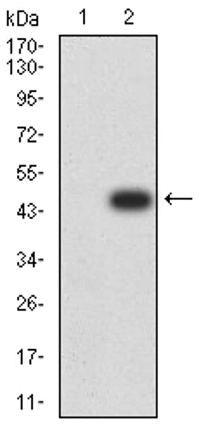 JNK3 Antibody in Western Blot (WB)