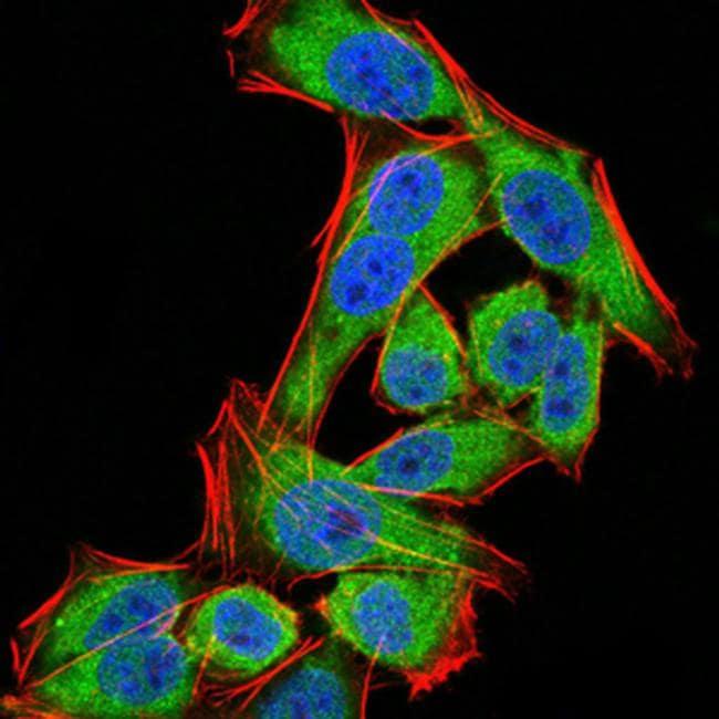 PDPK1 Antibody in Immunofluorescence (IF)