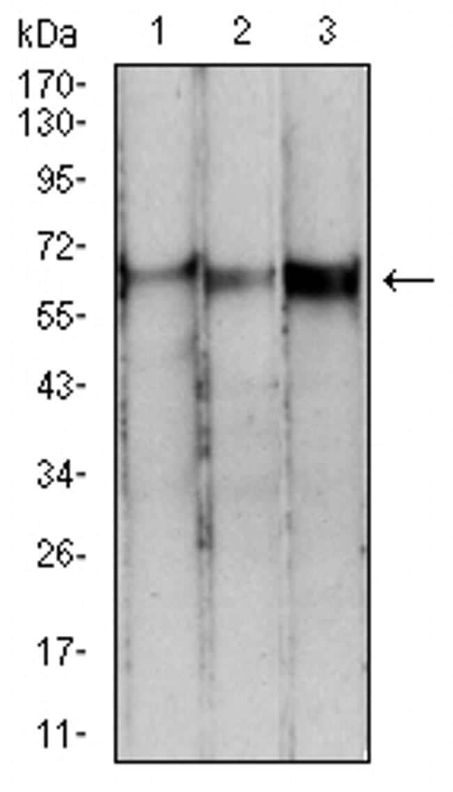 PDPK1 Antibody in Western Blot (WB)