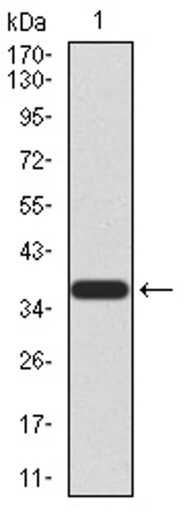 PRDM5 Antibody in Western Blot (WB)
