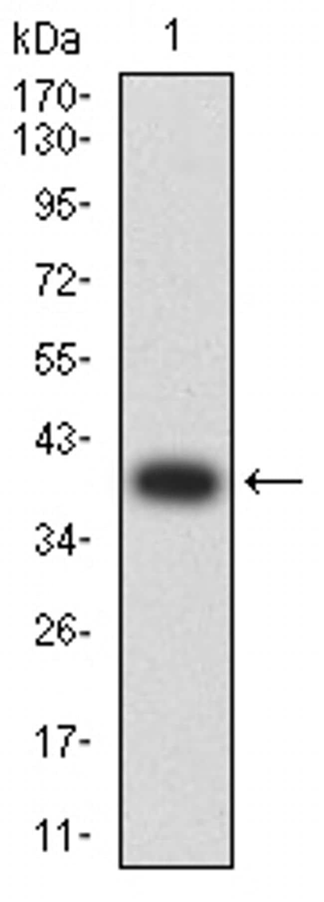 AMPK beta-2 Antibody in Western Blot (WB)