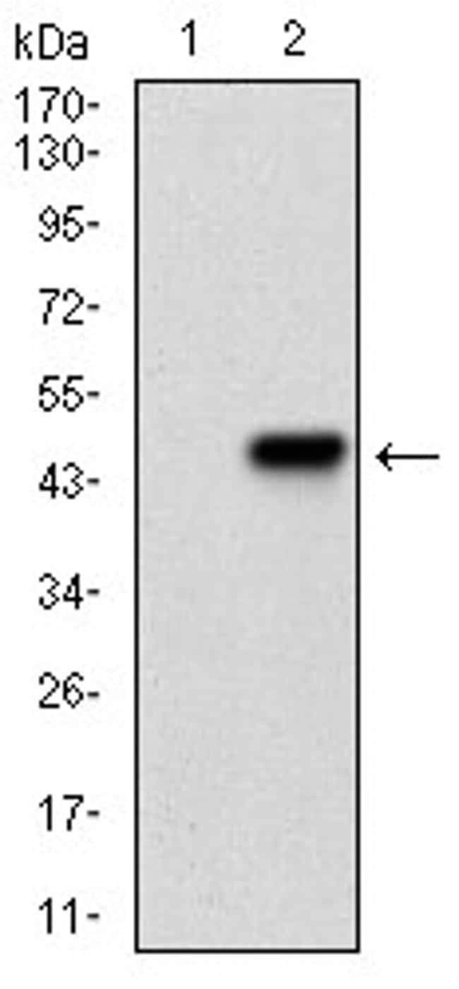 PKA alpha Antibody in Western Blot (WB)